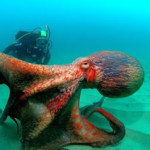 Inilah Gurita Terbesar di Dunia ada di Samudera Pasifik