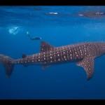 Inilah Ikan Terbesar Di Dunia Yang Masih Hidup