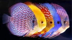 Ikan-Discus