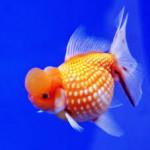 5 Jenis Ikan Hias Termahal di Indonesia Populer