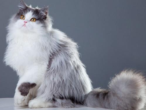 jenis-jenis-kucing-di-indonesia