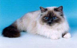 kucing-anggora-tercantik