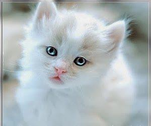 kucing-tercantik-didunia
