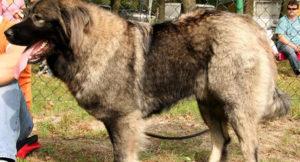Anjing-melet-Ceng