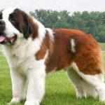 6 Anjing Terbesar di Dunia yang Populer