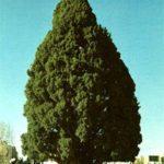 8 Pohon Tertua di Dunia dengan Usia Ribuan Tahun