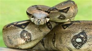 ular boa