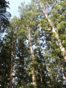 damar_tree__by_ayosen-d54jk4h