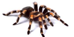 ARF8NK Red-kneed tarantula Brachypelma smithii