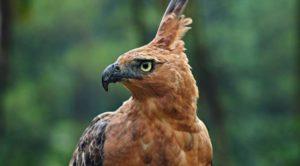 Elang Jawa. Punya ciri-ciri sama dengan burung Garuda