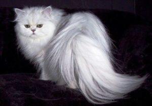 kucing-anggora-lucu-tercantik