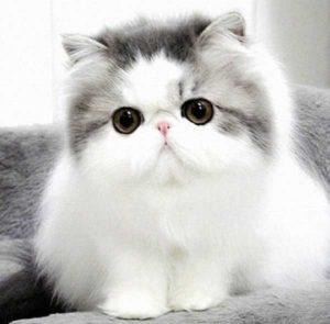 kucing-anggora-tercantik-di-dunia