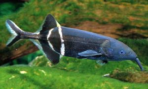 Elephantnose-Fish-Gnathonemus-petersii3
