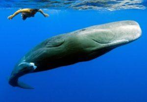 Paus-Sperma-Sperm-Whale