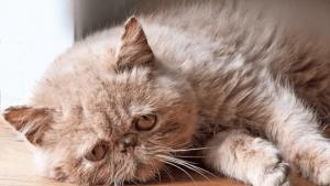Kucing-Jamuran-Parah
